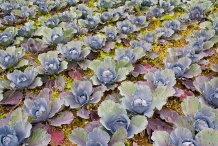 Red-cabbage-farm