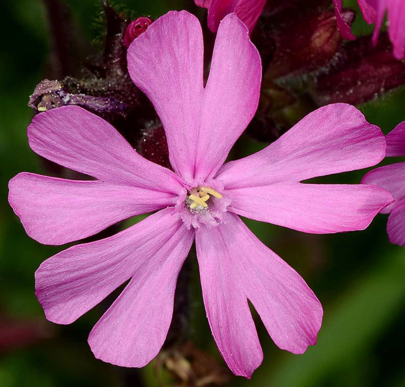 Closer-view-of-flower-of-Red-campion