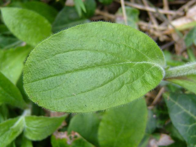 Leaf-of-Red-campion