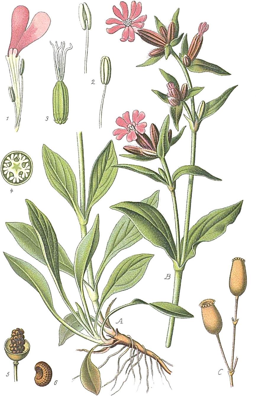 Plant-Illustration-of-Red-campion