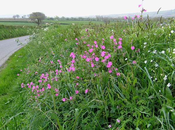 Red-campion-plant-growing-wild