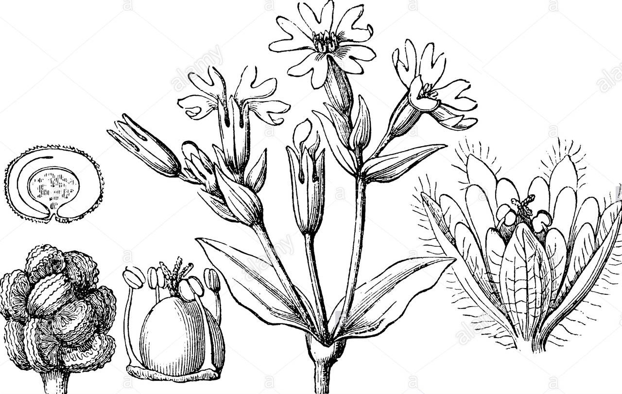 Sketch-of-Red-campion