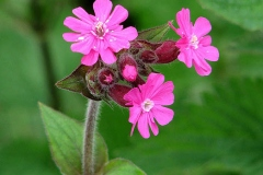 Flowers-of-Red-campion
