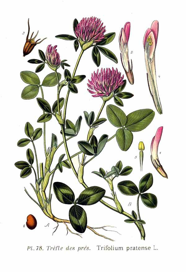 Illustration-of-Red-Clover-plant
