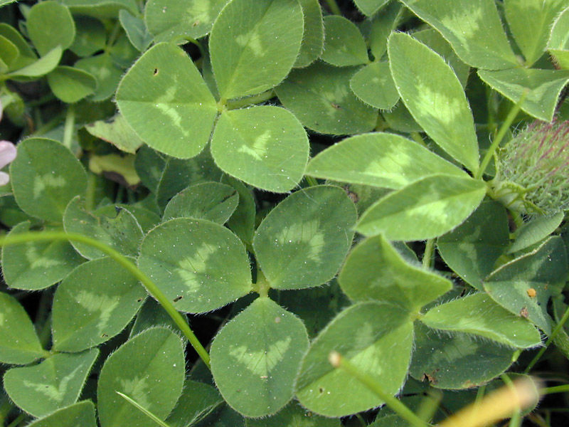 Leaves-of-Red-Clover