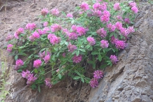 Red-Clover-plant