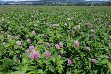 Red-clover-farm