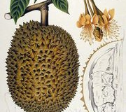 Plant-illustration-of-Red-Durian