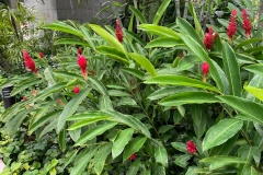 Red-Ginger-plant-growing-wild