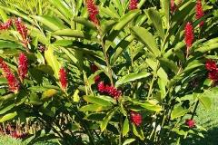 Red-Ginger-plant