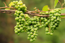 Unripe-Red-Grapes