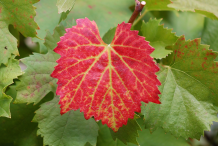 Leaves-of-Red-grapes