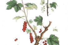 Plant-Illustration-of-Red-grapes