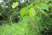 Tendrils-and-young-leaves-of-Red-grapes