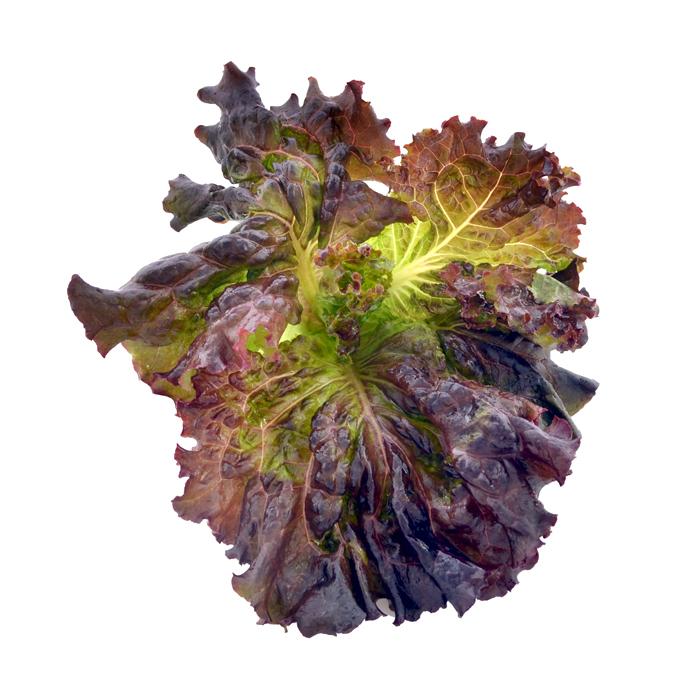 Leaves-of-Red-leaf-lettuce