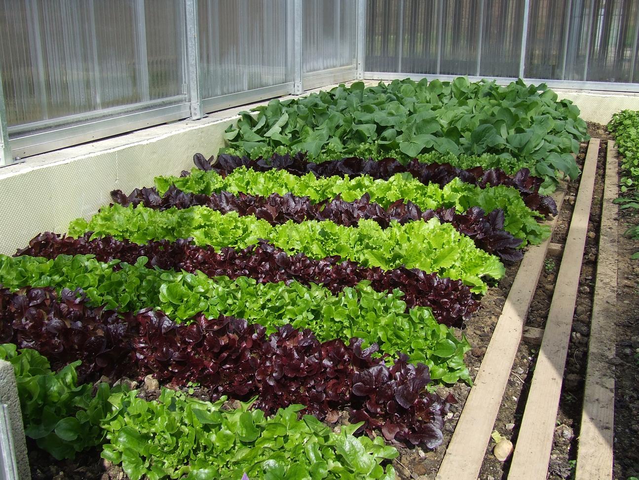 Red-leaf-lettuce-farm