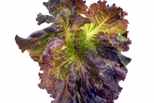 Leaves-of-Red-leaf-lettuce