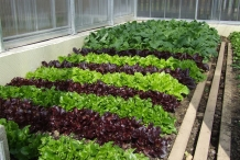 Red-leaf-lettuce-farm