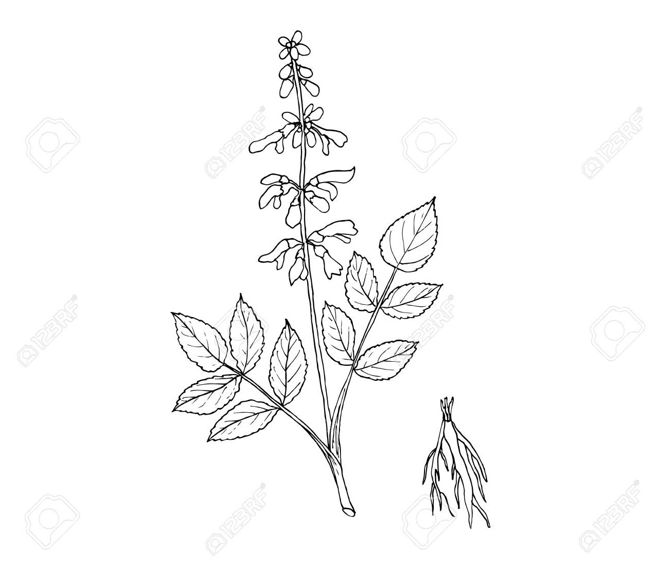 Sketch-of-Red-sage