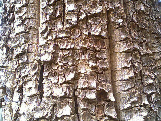 Bark-of-Red-Sandalwood