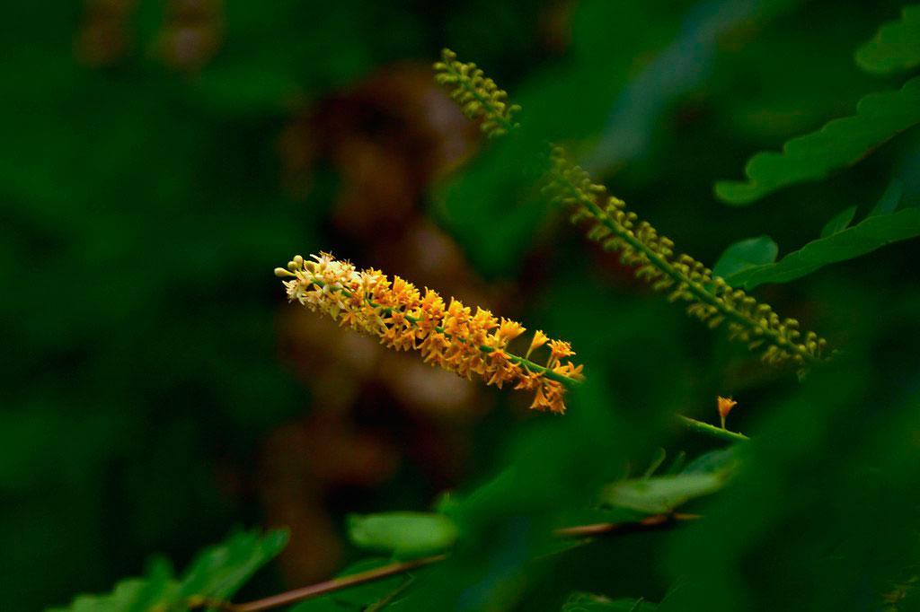 Flowers-of-Red-Sandalwood