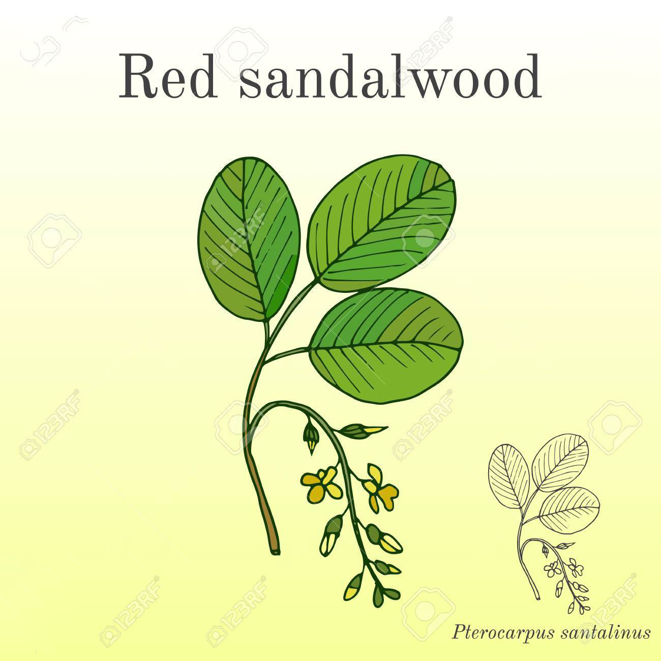 Sketch-of-Red-Sandalwood