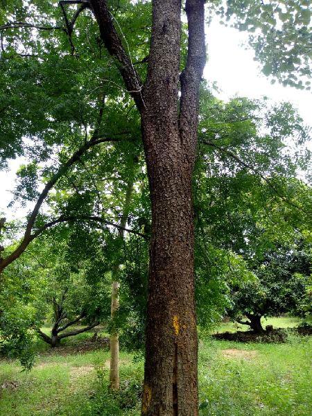 Trunk-of-Red-Sandalwood-tree