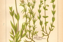Illustration-of-Red-Sandspurry