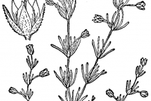 Drawing-of-Red-Sandspurry