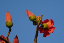 Flowers-and-flowering-buds-of-Red-silk-cotton-tree