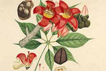 Plant-Illustration-of-Red-silk-cotton-tree