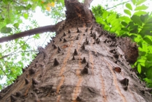 Bark-of-Red-silk-cotton-tree