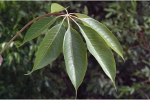 Leaves-of-Red-silk-cotton-tree