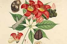 Plant-Illustration-of-Red-silk-cotton-tree