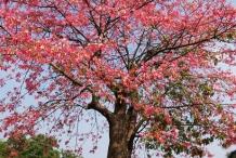 Red-silk-cotton-tree
