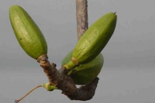 Unripe-fruits-of-Red-silk-cotton-tree