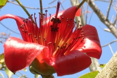 Closer-view-of-Red-silk-cotton-tree