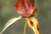 Dried-Fruit-of-Red-Trillium