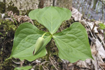Flowering-Bud-of-Red-Trillium