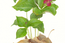 Plant-Illustration-of-Red-Trillium