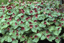 Red-Trillium-Plant-growing-wild
