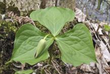 Flowering-Bud-of-Red-Trillium