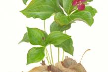 Plant-Illustration-of-Red-Trillium