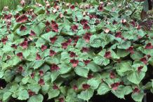 Red-Trillium-Plant-growing-wild