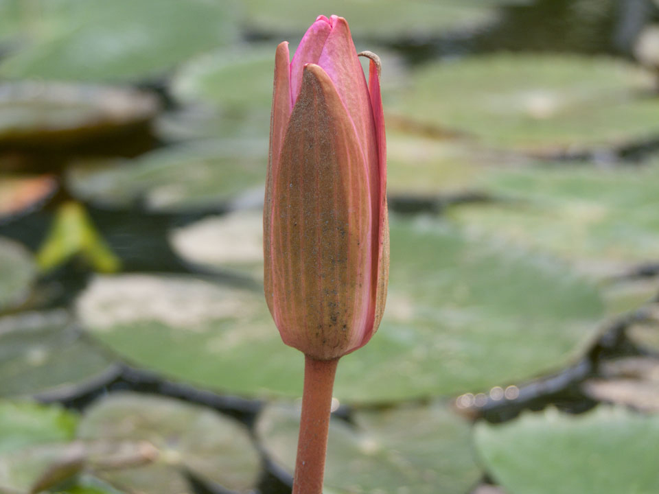 Flower-buds-of-Red-Water-Lily