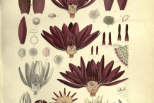 Plant-illustration-of-Red-Water-lily
