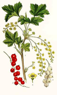 Redcurrant-plant-Illustration