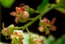 Redcurrant-Flower