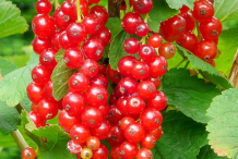 Redcurrant-on-the-tree