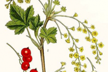 Redcurrant-plant-Illustration